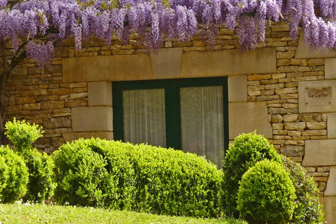 Boxwood and wisteria in flower at Le Cellier gite, Sarlat